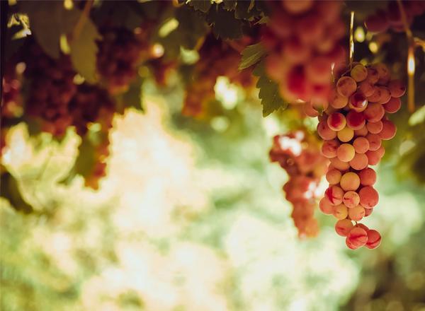 Nho là trái cây tốt cho sức khỏe